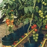 Top 10 Tomato Growing Tips