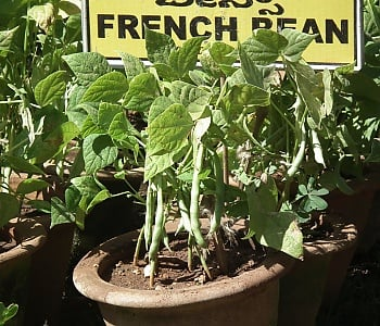 French bean plant