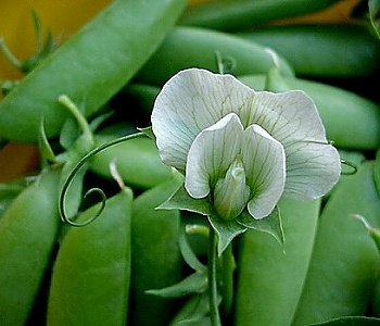 Peas and Pea Blossom